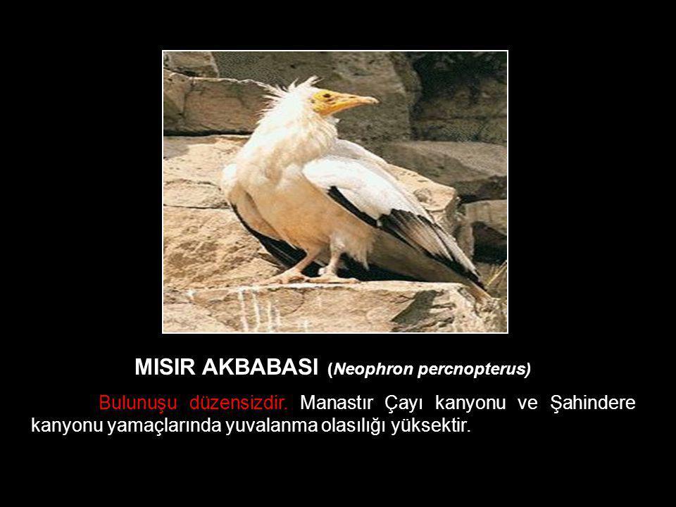 MISIR AKBABASI (Neophron percnopterus)