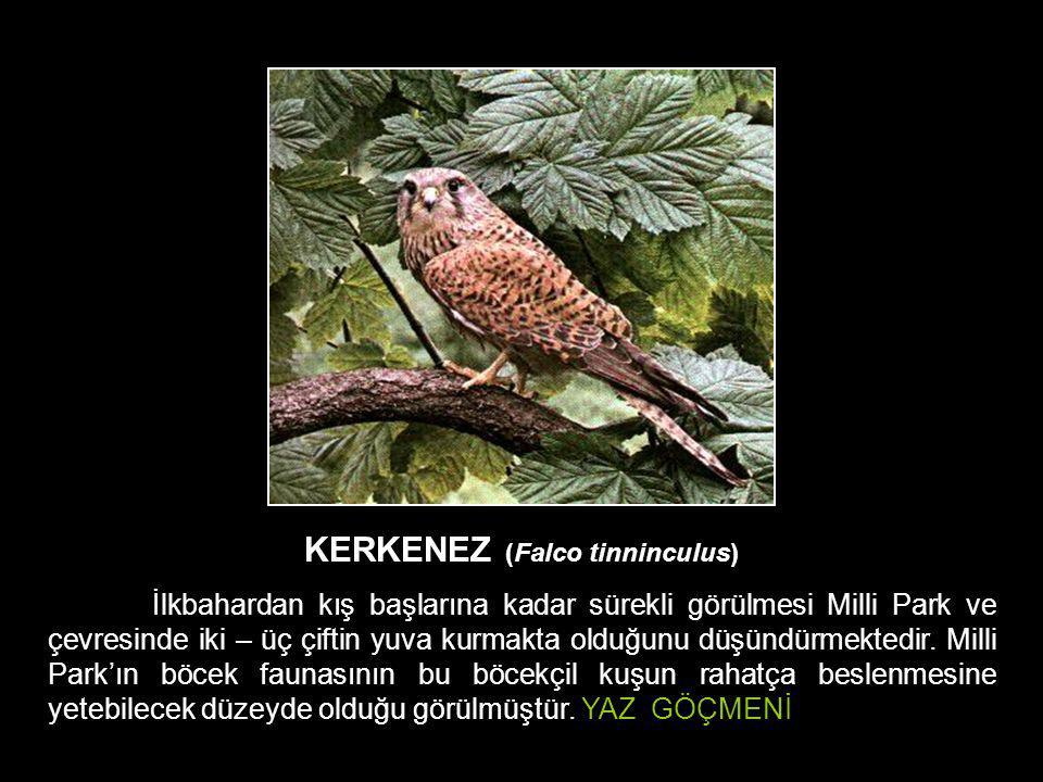 KERKENEZ (Falco tinninculus)