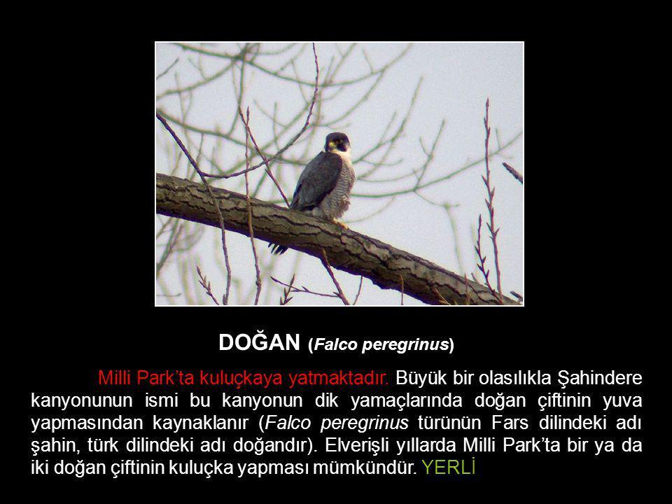 DOĞAN (Falco peregrinus)