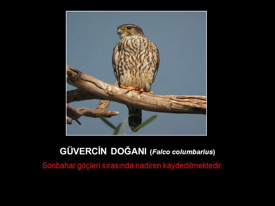 GÜVERCİN DOĞANI (Falco columbarius)