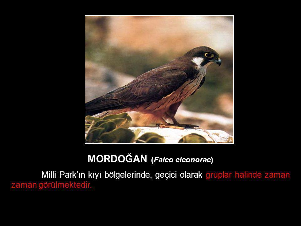 MORDOĞAN (Falco eleonorae)