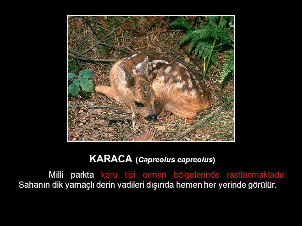 KARACA (Capreolus capreolus)