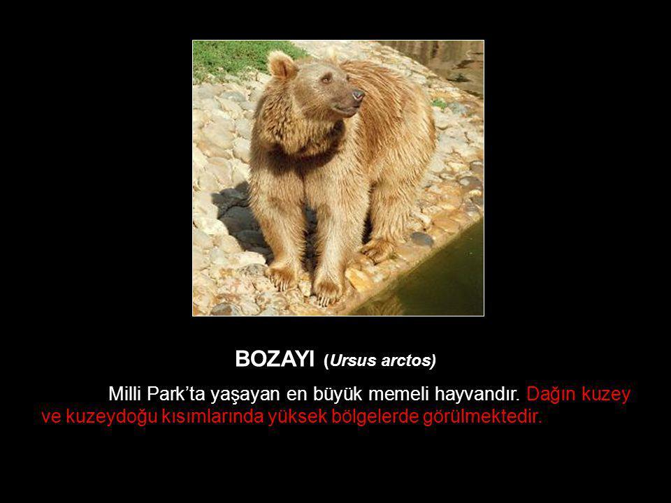 BOZAYI (Ursus arctos) Milli Park'ta yaşayan en büyük memeli hayvandır.