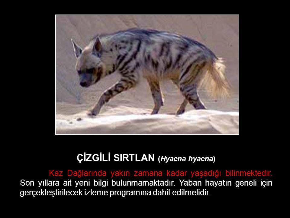 ÇİZGİLİ SIRTLAN (Hyaena hyaena)