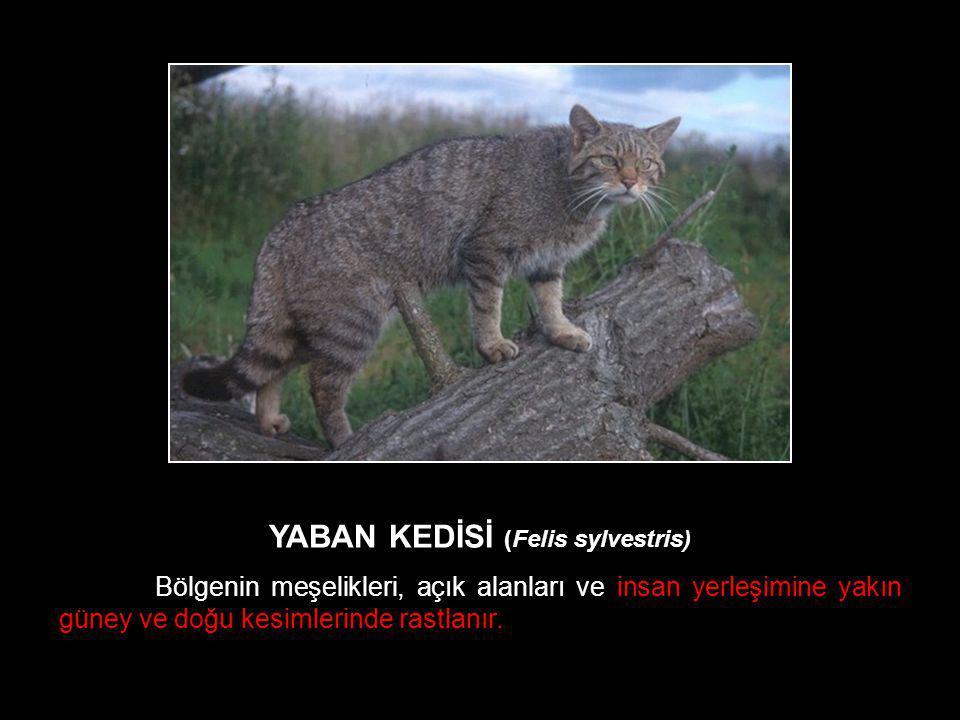 YABAN KEDİSİ (Felis sylvestris)