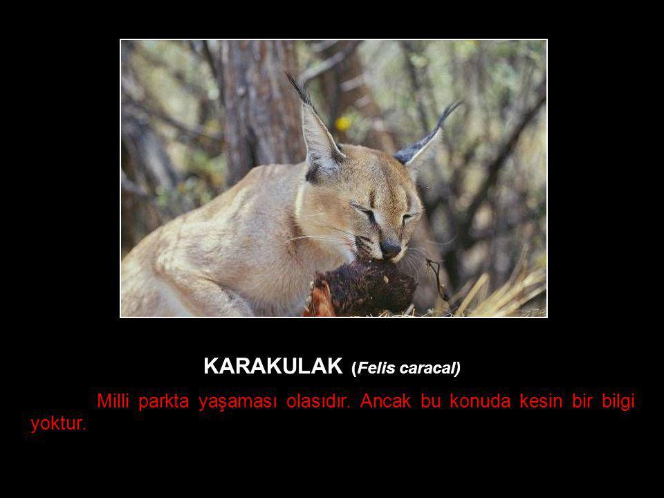 KARAKULAK (Felis caracal)