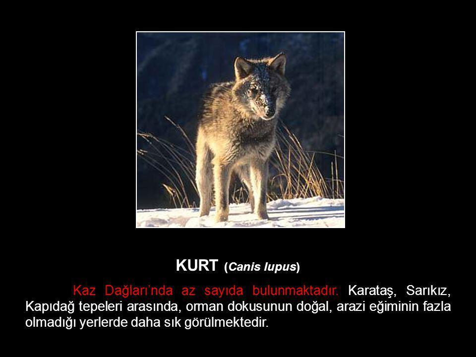 KURT (Canis lupus)