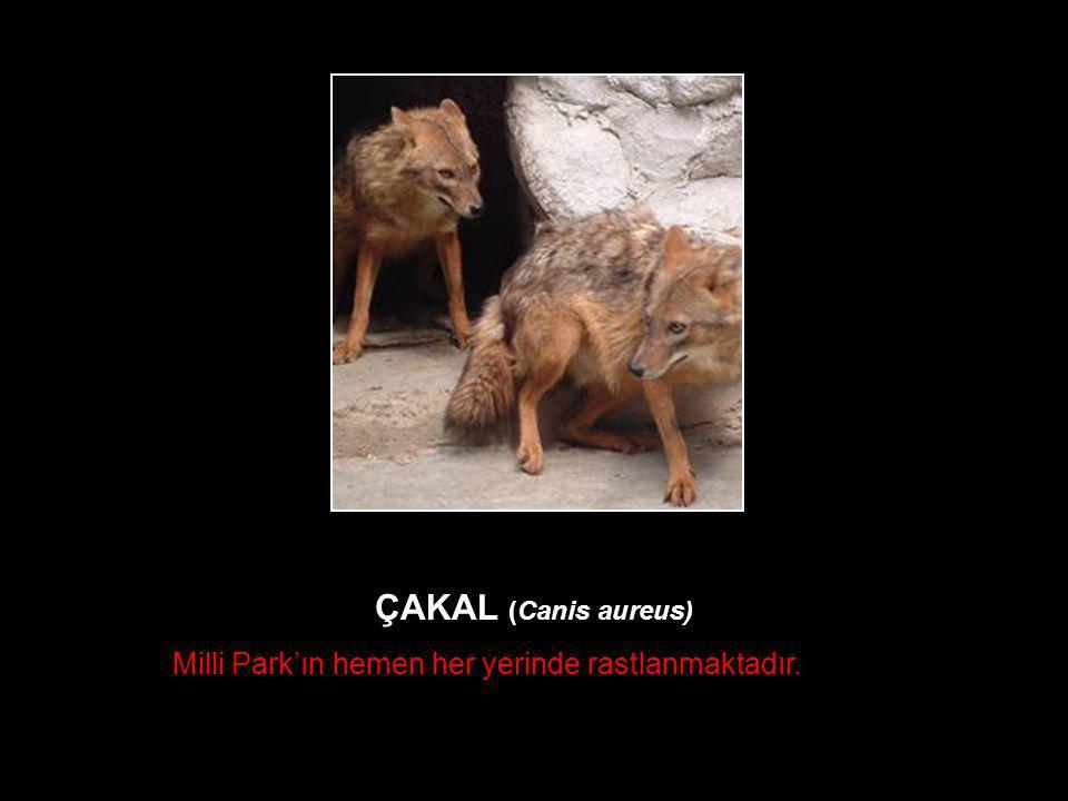 ÇAKAL (Canis aureus) Milli Park'ın hemen her yerinde rastlanmaktadır.