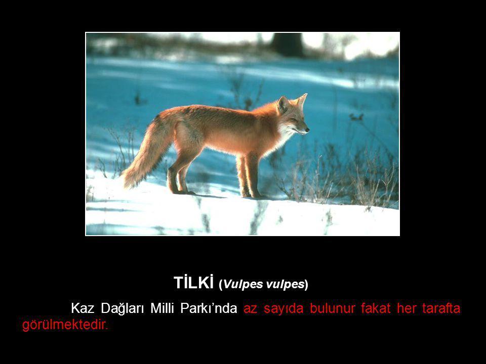 TİLKİ (Vulpes vulpes) Kaz Dağları Milli Parkı'nda az sayıda bulunur fakat her tarafta görülmektedir.
