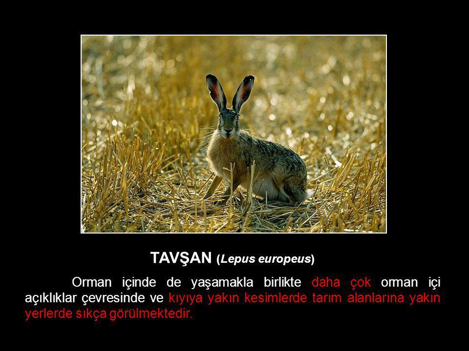 TAVŞAN (Lepus europeus)