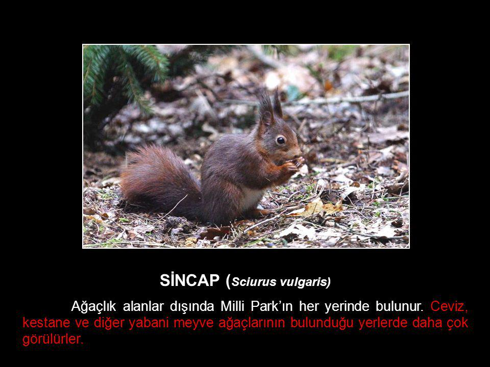 SİNCAP (Sciurus vulgaris)