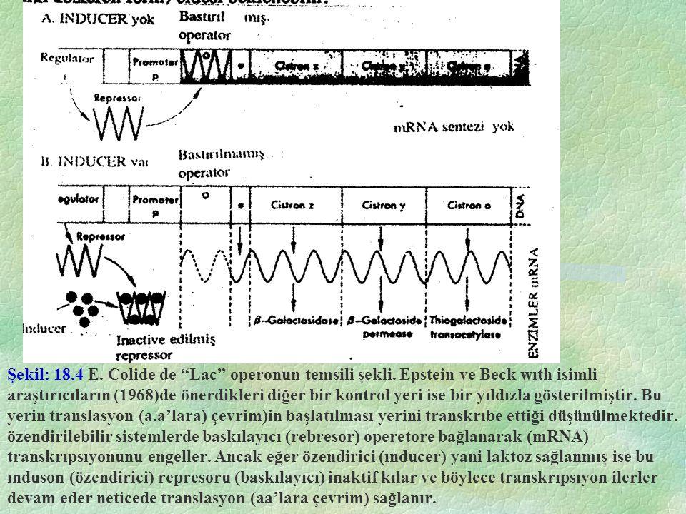 Şekil: 18. 4 E. Colide de Lac operonun temsili şekli