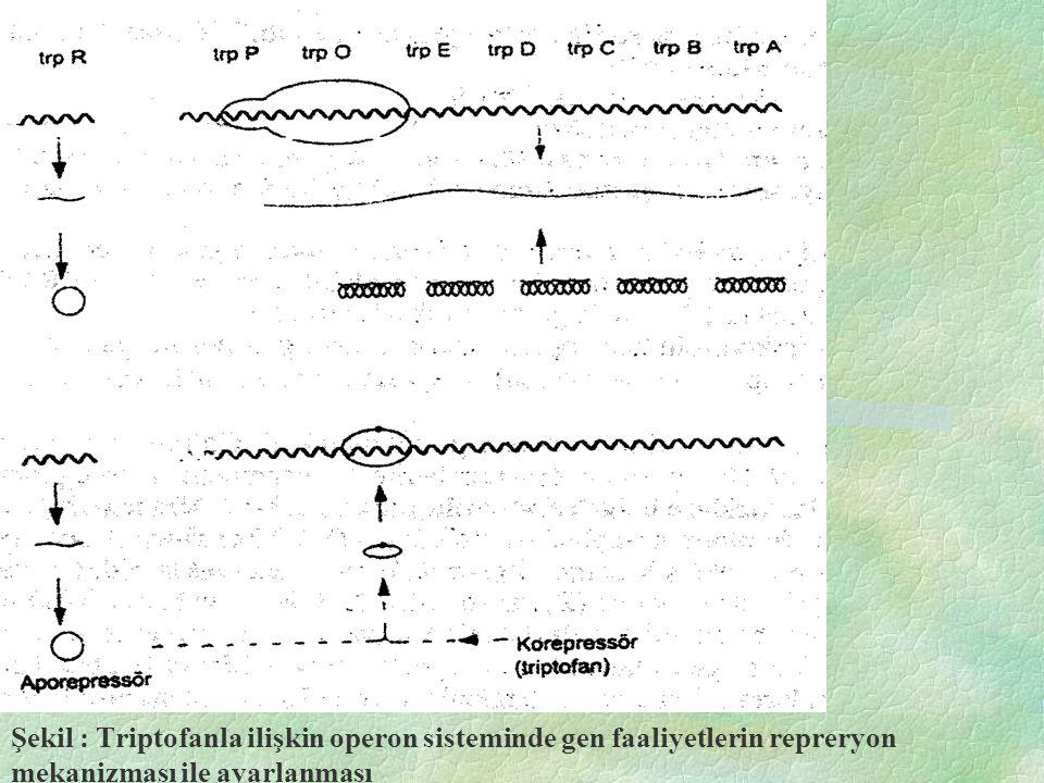 Şekil : Triptofanla ilişkin operon sisteminde gen faaliyetlerin repreryon mekanizması ile ayarlanması