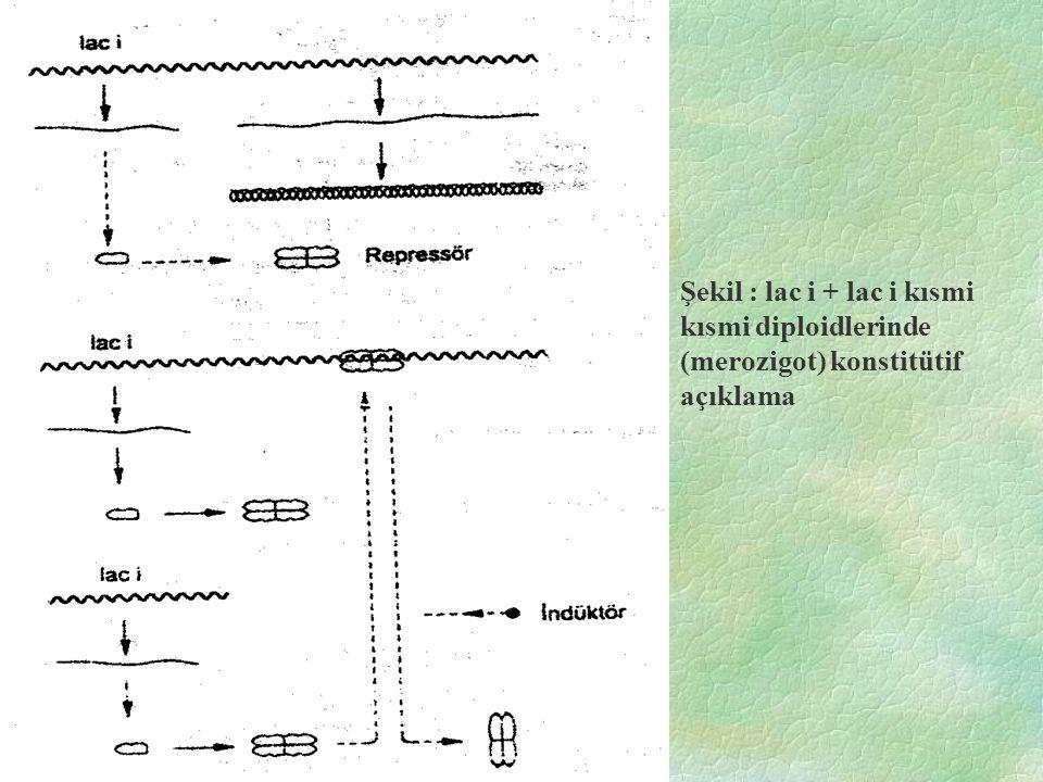 Şekil : lac i + lac i kısmi kısmi diploidlerinde (merozigot) konstitütif açıklama