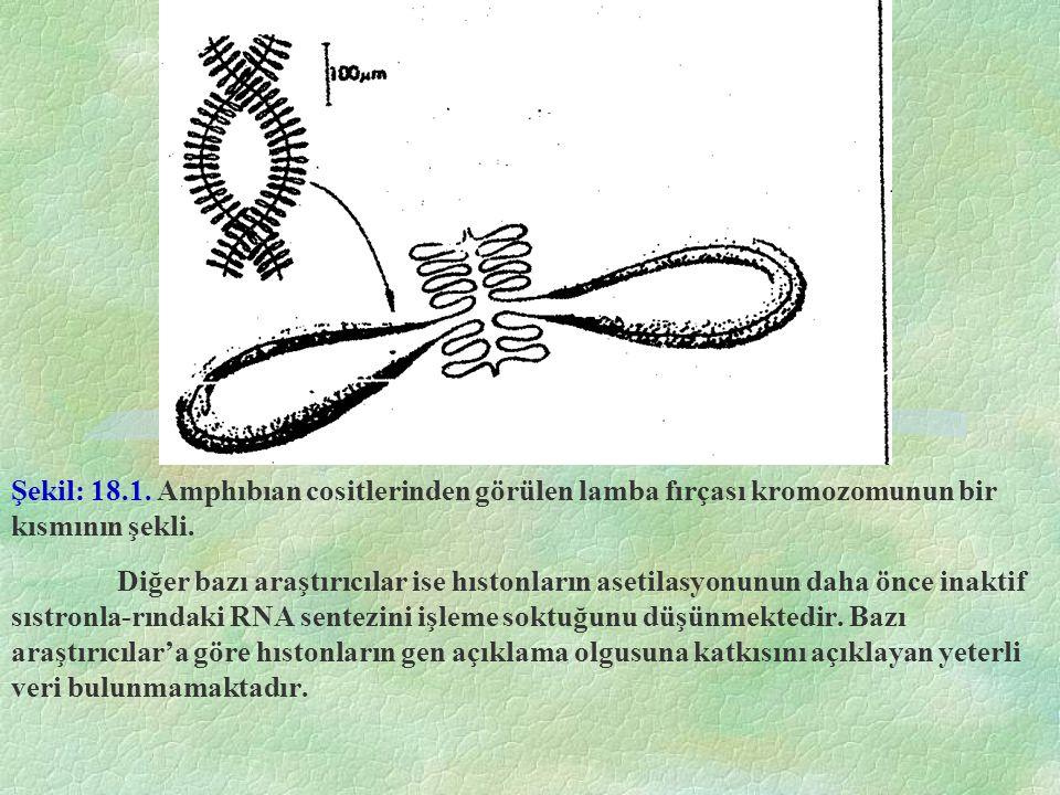 Şekil: 18.1. Amphıbıan cositlerinden görülen lamba fırçası kromozomunun bir kısmının şekli.