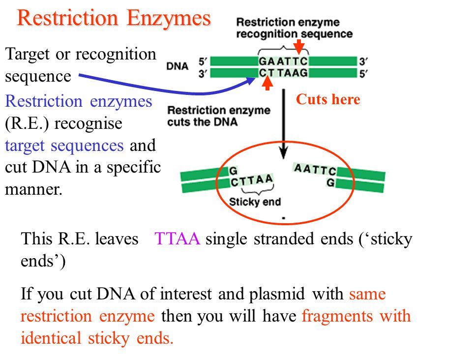 Restriction Enzymes Target or recognition sequence