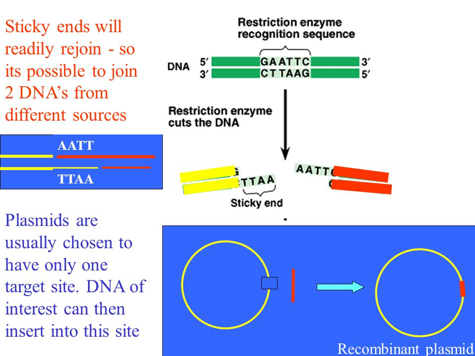 Sticky ends will readily rejoin - so its possible to join 2 DNA's from different sources