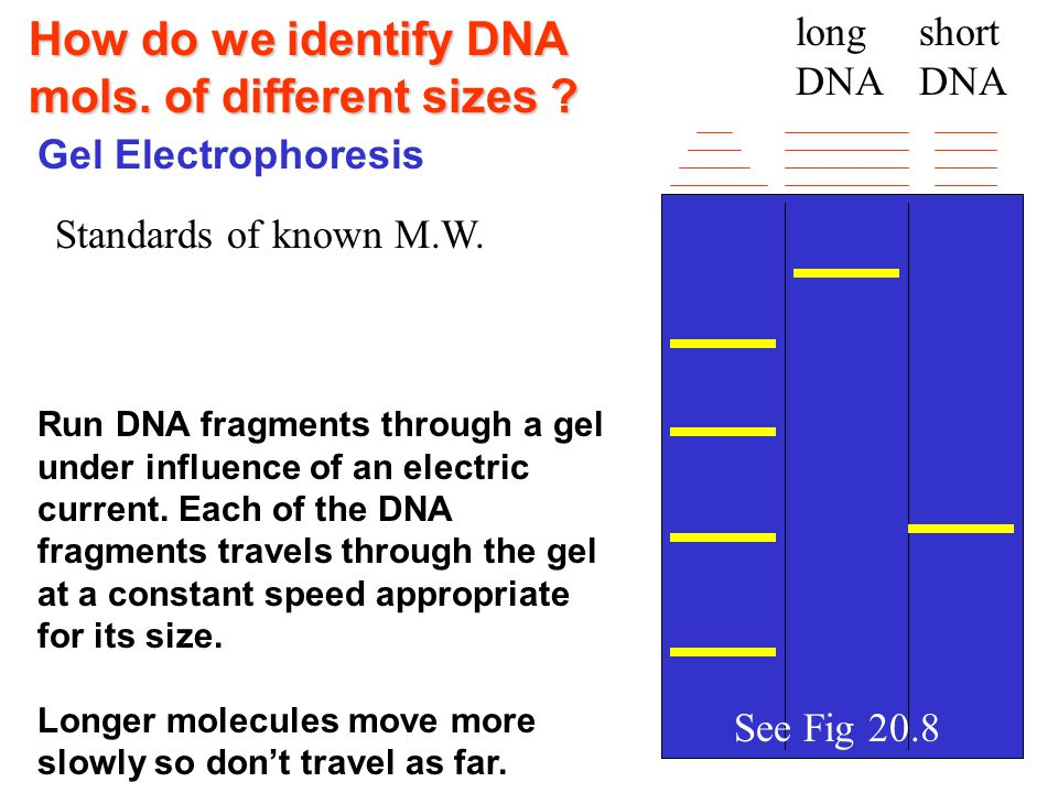 How do we identify DNA mols. of different sizes