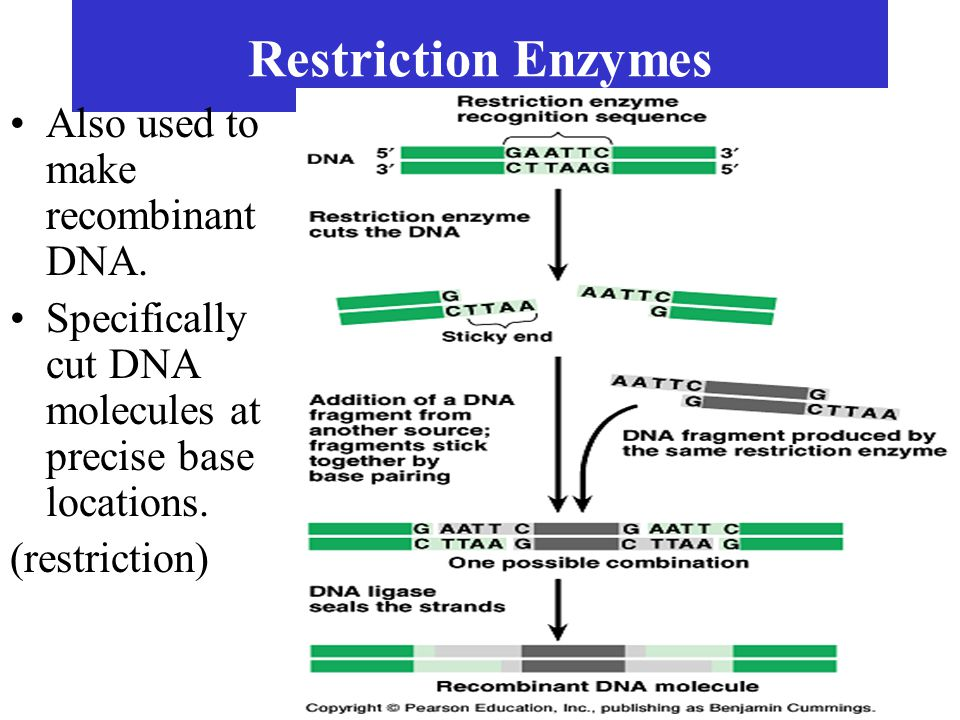 Restriction Enzymes Also used to make recombinant DNA.