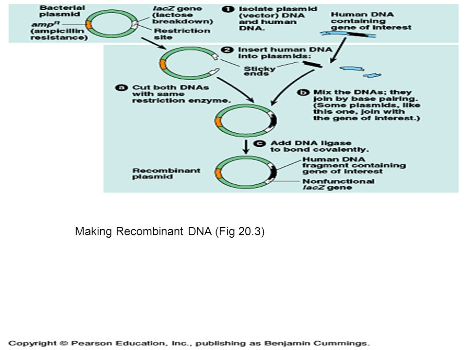 Making Recombinant DNA (Fig 20.3)