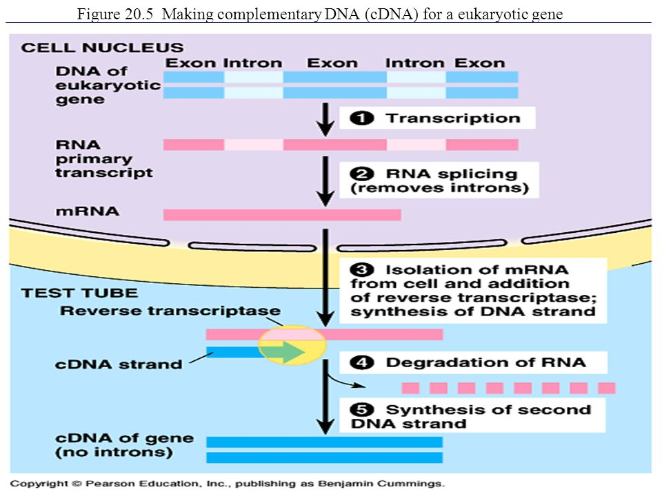 Figure 20.5 Making complementary DNA (cDNA) for a eukaryotic gene