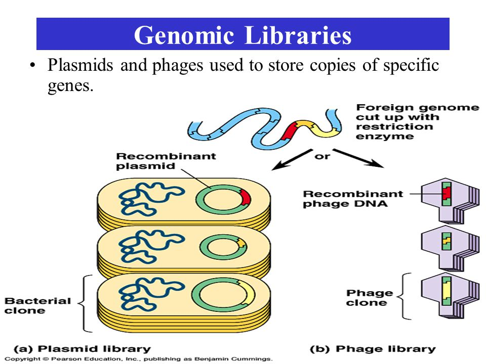 Genomic Libraries Plasmids and phages used to store copies of specific genes.