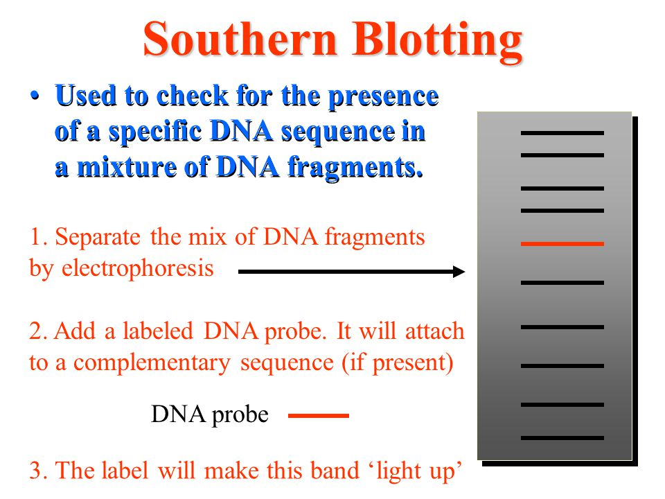 Southern Blotting Used to check for the presence of a specific DNA sequence in a mixture of DNA fragments.