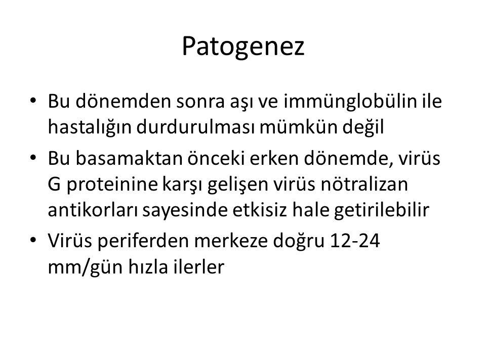 Patogenez Bu dönemden sonra aşı ve immünglobülin ile hastalığın durdurulması mümkün değil.