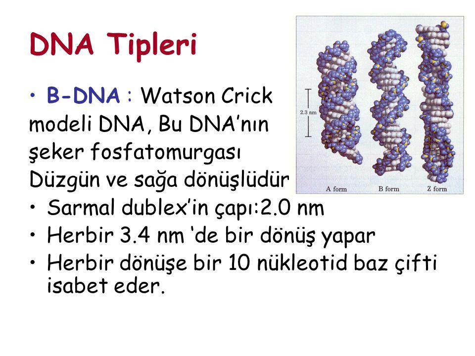 DNA Tipleri B-DNA : Watson Crick modeli DNA, Bu DNA'nın