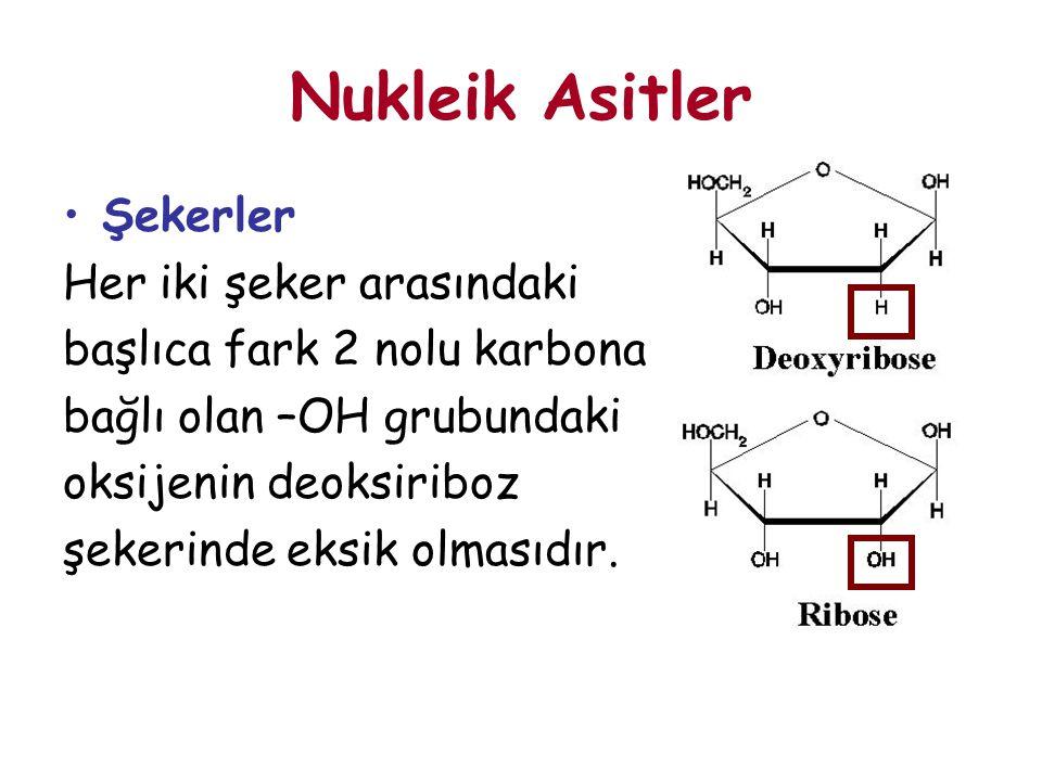 Nukleik Asitler Şekerler Her iki şeker arasındaki