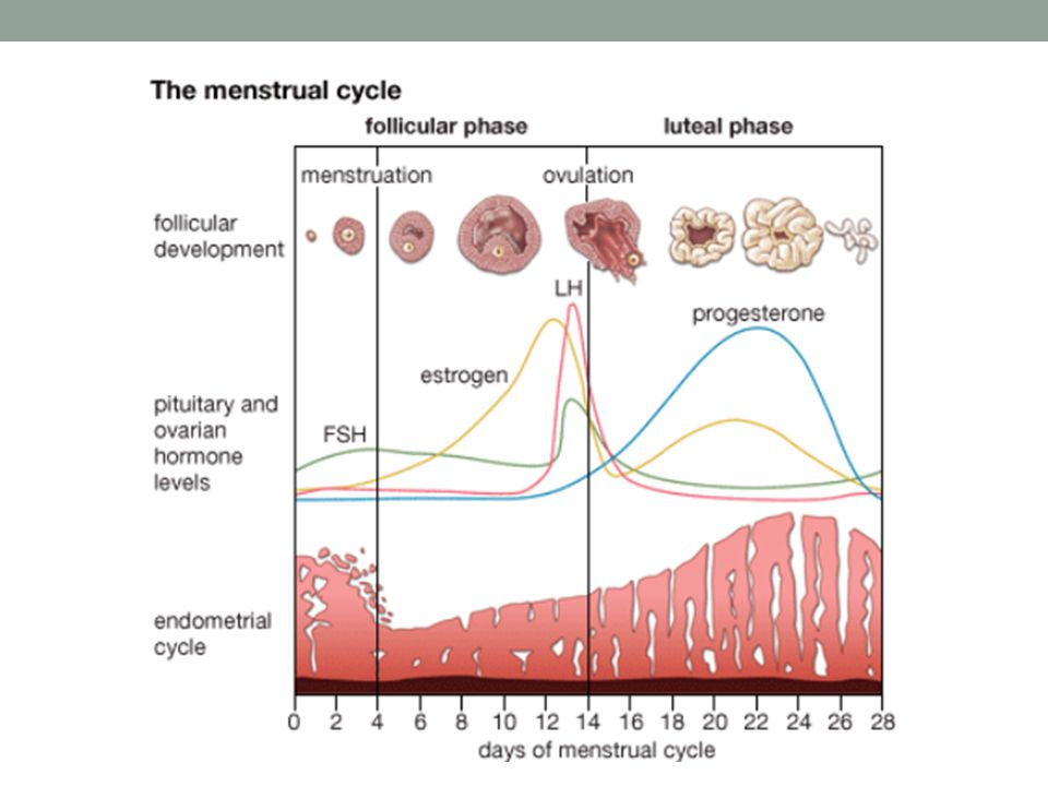 The traditional process of folliculogenesis involves the recruitment of various antral follicles in each ovary during the late luteal phase of the preceding menstrual cycle. Then, during the initial or middle stage of the follicular phase, a single follicle is selected, while the others undergo