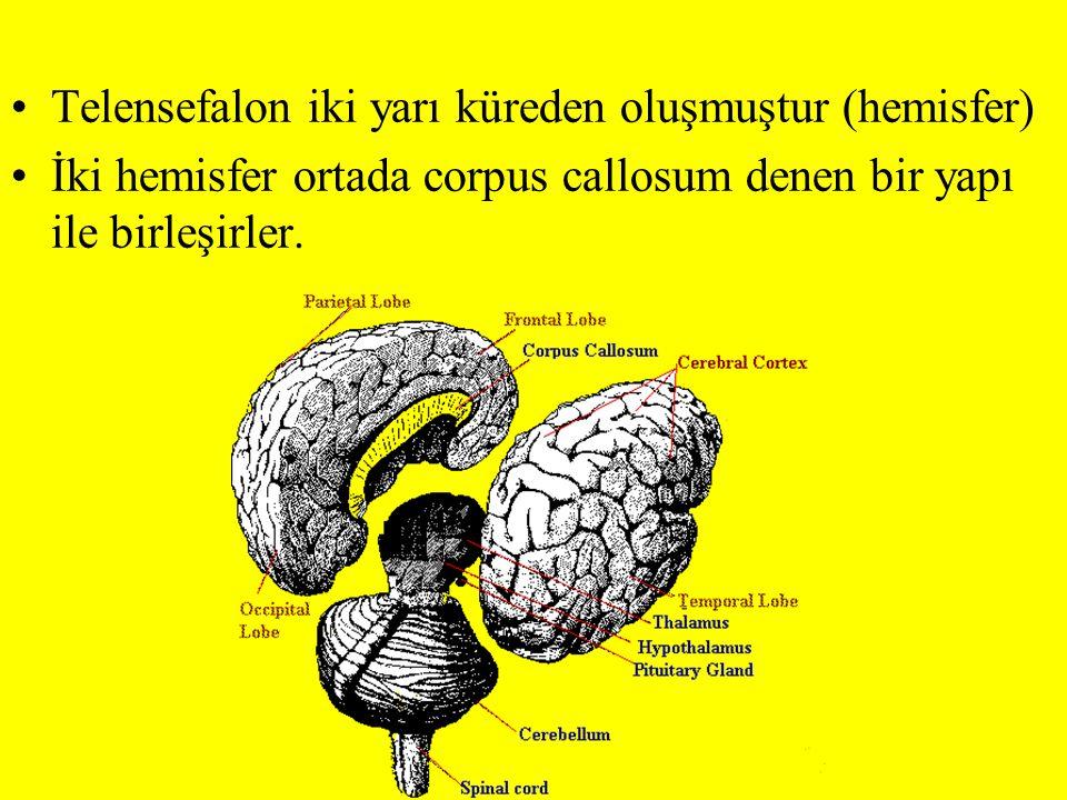 Telensefalon iki yarı küreden oluşmuştur (hemisfer)
