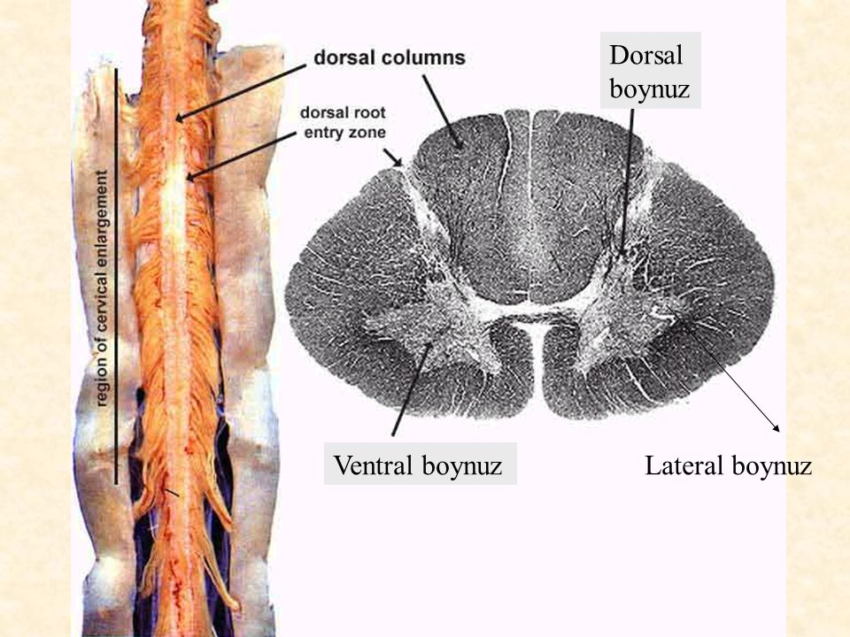 Dorsal boynuz Ventral boynuz Lateral boynuz