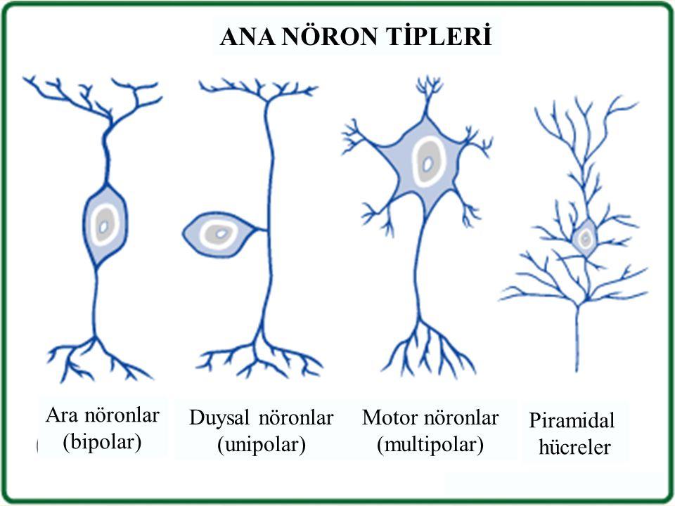 ANA NÖRON TİPLERİ Ara nöronlar (bipolar) Duysal nöronlar (unipolar)