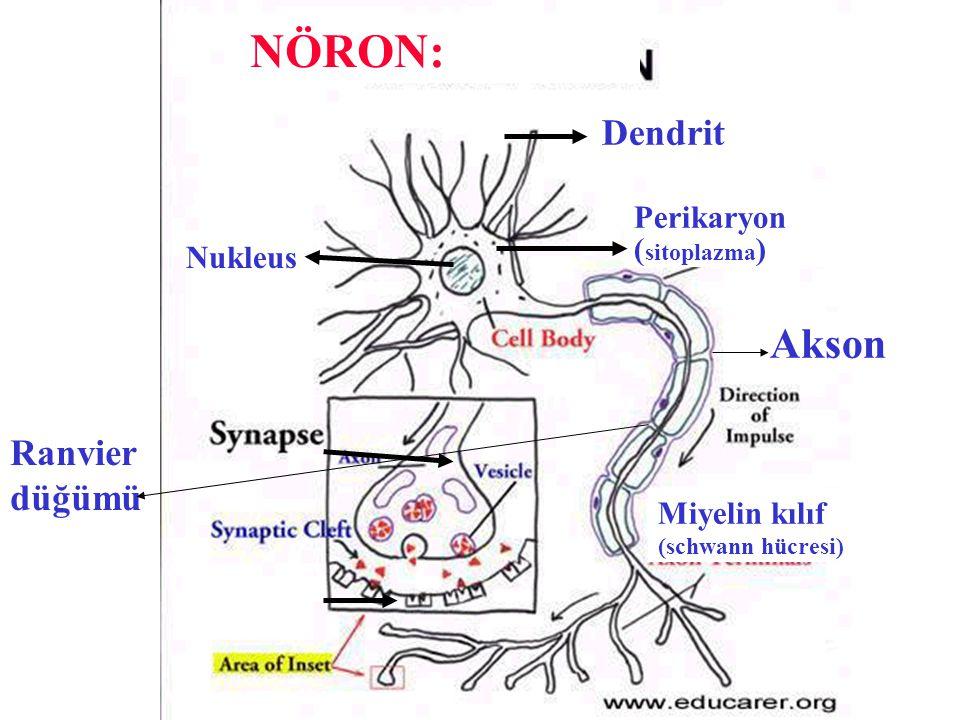 NÖRON: Akson Dendrit Ranvier düğümü Perikaryon (sitoplazma) Nukleus