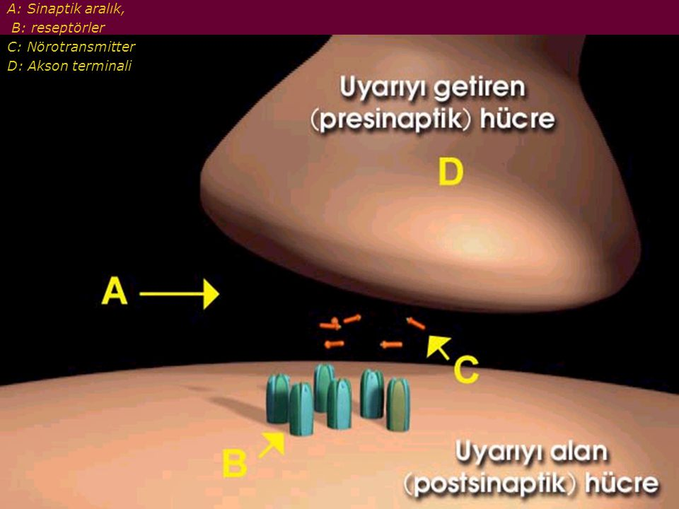 A: Sinaptik aralık, B: reseptörler C: Nörotransmitter D: Akson terminali