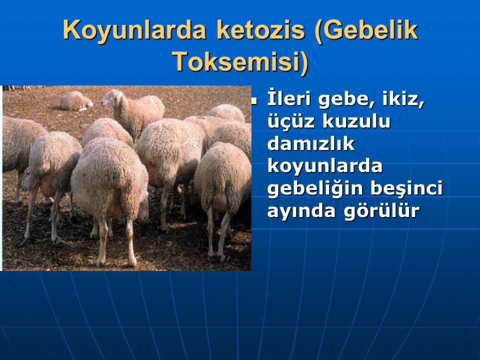 Koyunlarda ketozis (Gebelik Toksemisi)