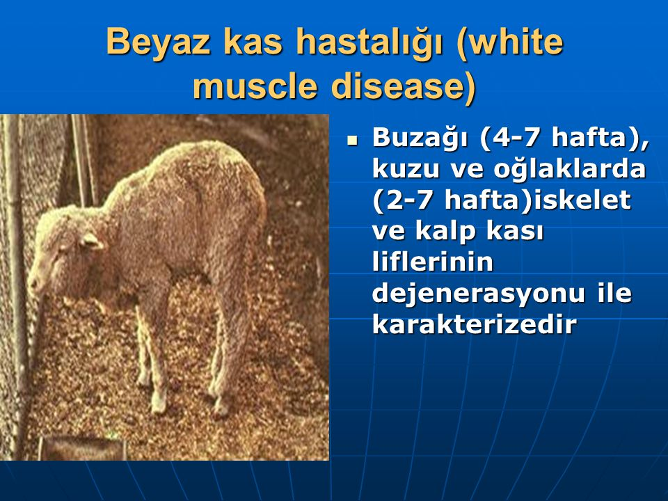 Beyaz kas hastalığı (white muscle disease)