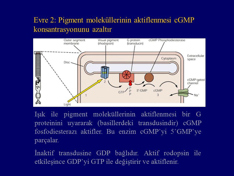 Evre 2: Pigment moleküllerinin aktiflenmesi cGMP konsantrasyonunu azaltır