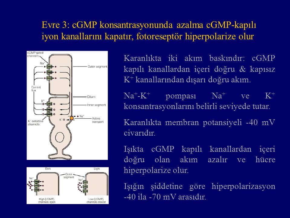 Evre 3: cGMP konsantrasyonunda azalma cGMP-kapılı iyon kanallarını kapatır, fotoreseptör hiperpolarize olur