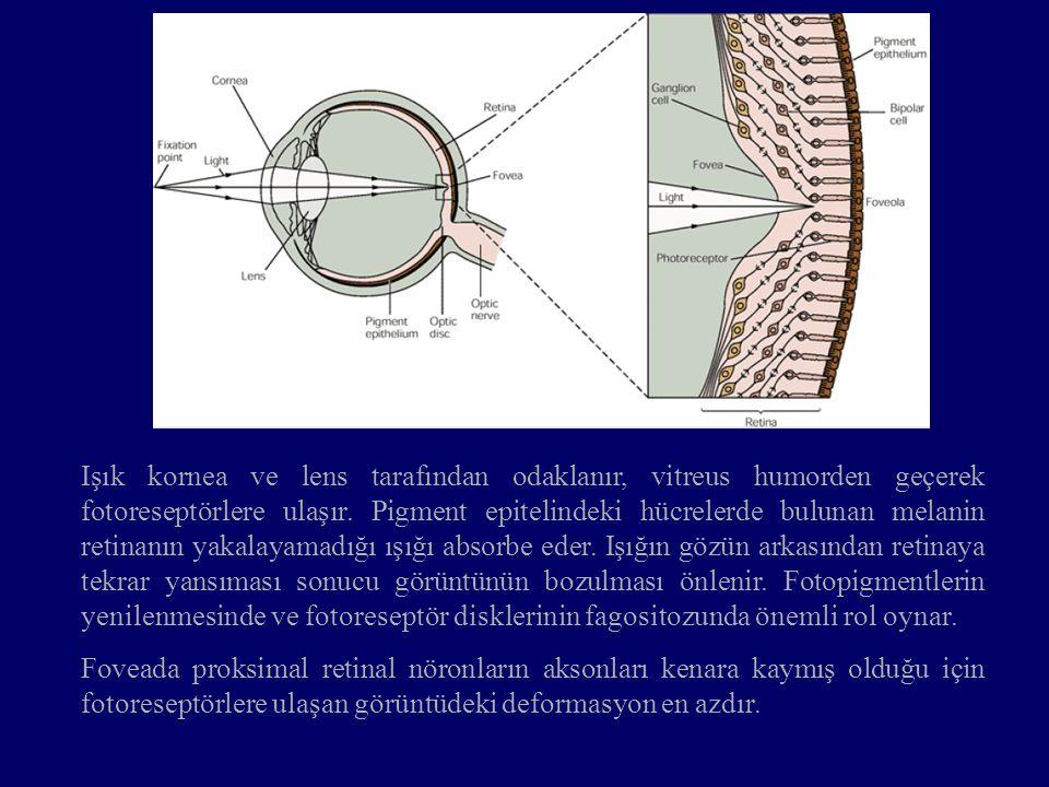 Işık kornea ve lens tarafından odaklanır, vitreus humorden geçerek fotoreseptörlere ulaşır. Pigment epitelindeki hücrelerde bulunan melanin retinanın yakalayamadığı ışığı absorbe eder. Işığın gözün arkasından retinaya tekrar yansıması sonucu görüntünün bozulması önlenir. Fotopigmentlerin yenilenmesinde ve fotoreseptör disklerinin fagositozunda önemli rol oynar.