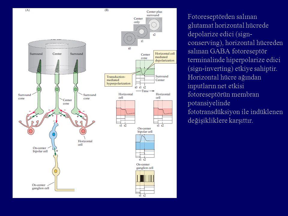 Fotoreseptörden salınan glutamat horizontal hücrede depolarize edici (sign-conserving), horizontal hücreden salınan GABA fotoreseptör terminalinde hiperpolarize edici (sign-inverting) etkiye sahiptir.