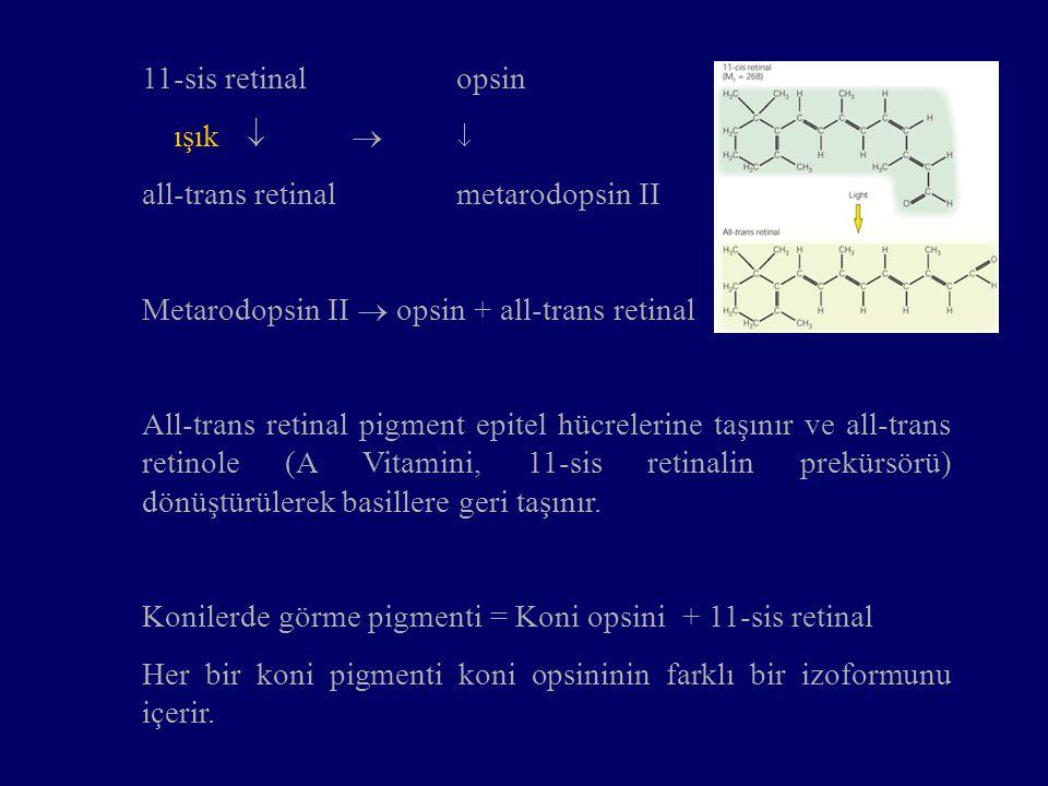 11-sis retinal opsin ışık    all-trans retinal metarodopsin II. Metarodopsin II  opsin + all-trans retinal.