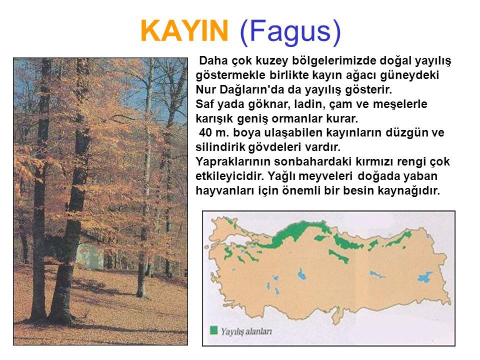 KAYIN (Fagus) Daha çok kuzey bölgelerimizde doğal yayılış göstermekle birlikte kayın ağacı güneydeki Nur Dağların da da yayılış gösterir.