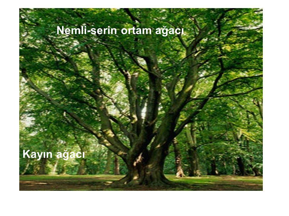 Nemli-serin ortam ağacı