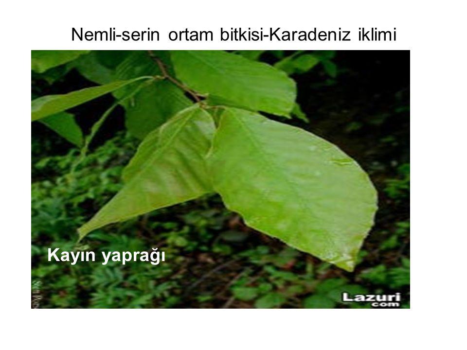 Nemli-serin ortam bitkisi-Karadeniz iklimi