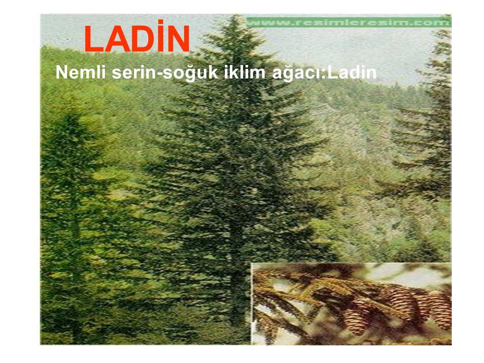 Nemli serin-soğuk iklim ağacı:Ladin