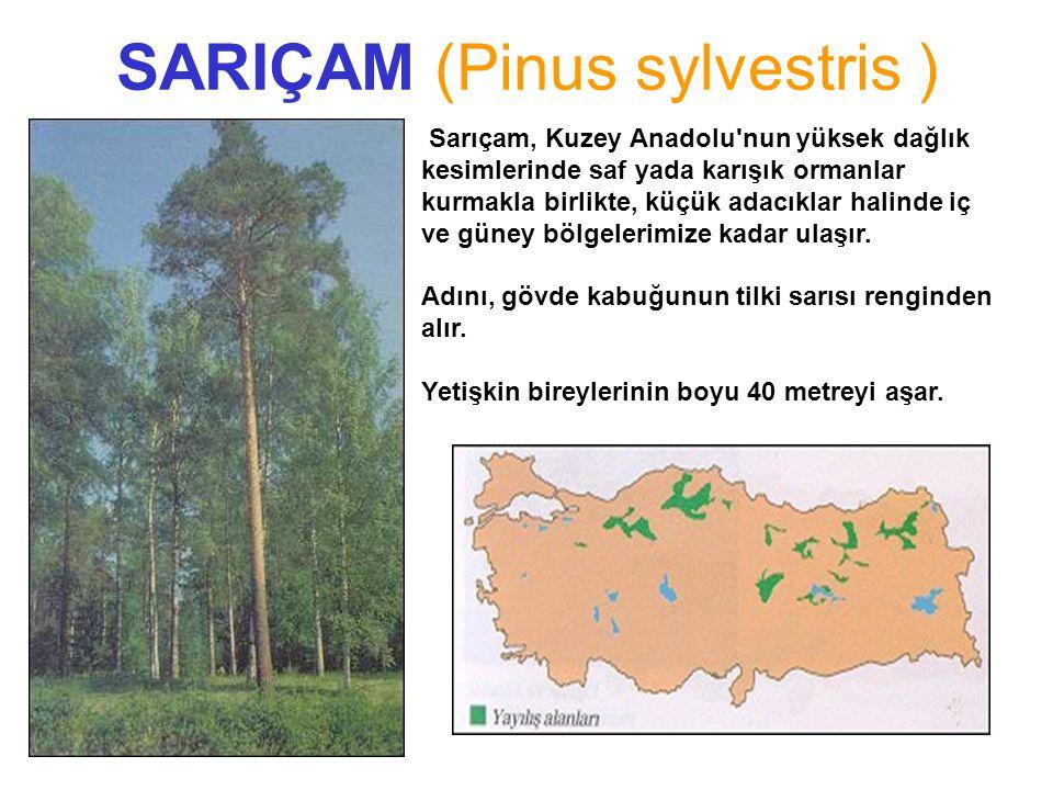 SARIÇAM (Pinus sylvestris )