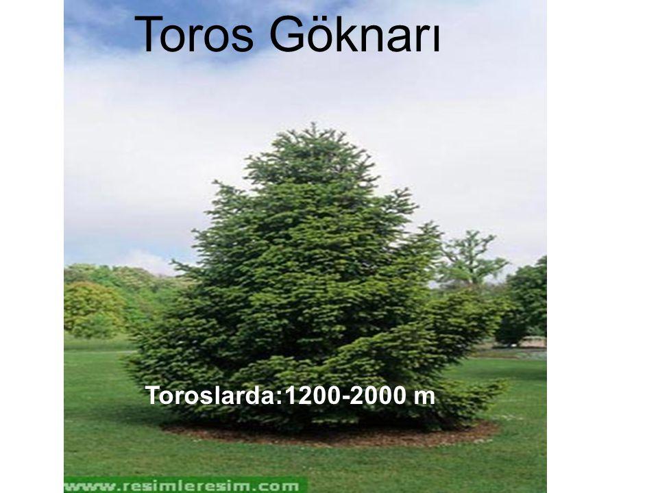Toros Göknarı Toroslarda:1200-2000 m