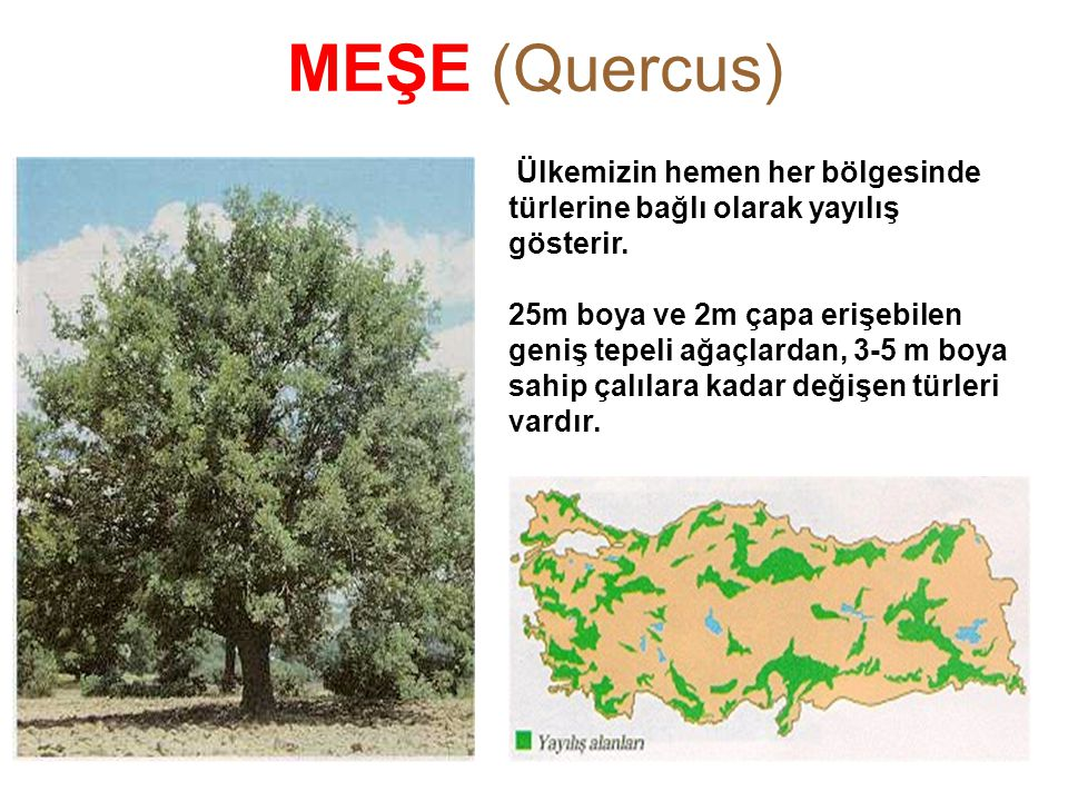 MEŞE (Quercus) Ülkemizin hemen her bölgesinde türlerine bağlı olarak yayılış gösterir.